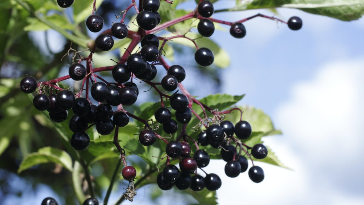 What is elderberry and can it help fight viruses?