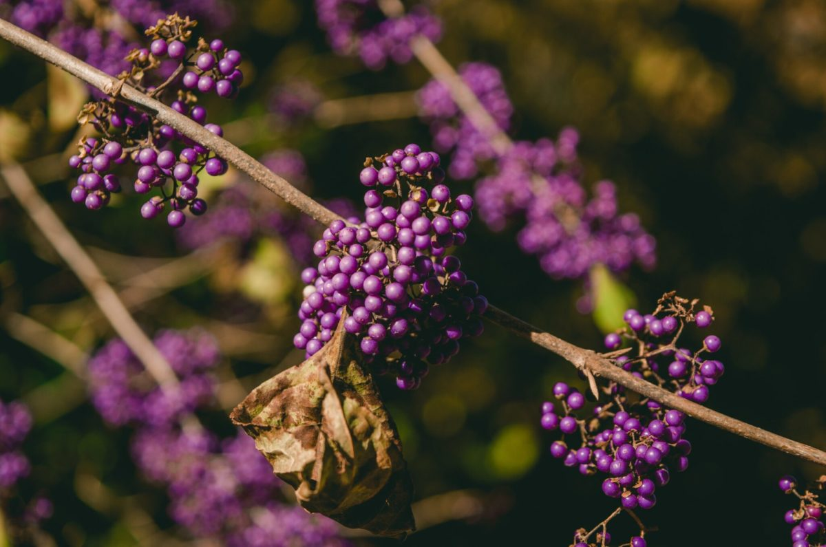 Don't Take Elderberry if You Have Thyroid Problems!
