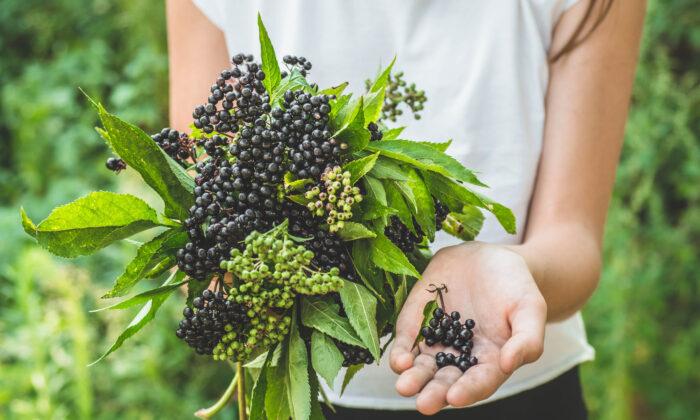 Top Antiviral Benefits of Elderberry
